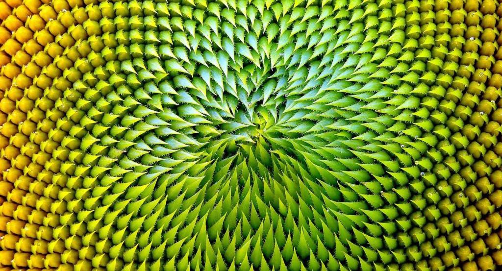 Oasiq - Sunflower